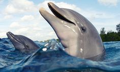 Dolphin and friend breaching