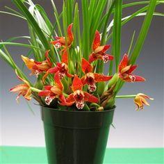 orchid flowers of Maxillaria tenouifolia..