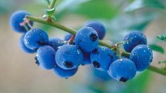 Blueberry, sweet and juicy fruit with a delicious taste. Checkout the 10 amazing health & nutritional benefits of blueberries and nutrition facts of blueberries Home Remedies For Uti, Uti Remedies, Natural Remedies, Blueberry Salad, Blueberry Plant, Blueberry Farm, Blueberry Bushes, How To Last Long, Lasting Longer In Bed