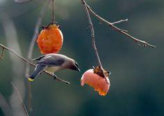 Hendry Vineyard Life 16: Cedar Waxwings are one of our favorite persimmon visitors. #hendryvineyardlife