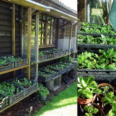 Primula Auricula, Plants, Plant, Planets