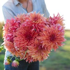 Dahlia Dinnerplate belle of barmera ( 1 Tuber ) Giant Flowers, Great Cut Flowers ! Giant Flowers, Types Of Flowers, Cut Flowers, Dahlia Flowers, Fall Flowers, Roses, 14th Wedding Anniversary, Great Cuts, Perennials
