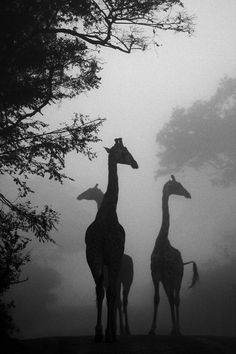 """Giraffes in the Mist""   Photo and caption by Stacy Howell  -  Driving through the reserve on a misty morning we were lucky enough to spot these giraffes before they slipped back into the bush.  Location: Phinda Private Game Reserve, South Africa"