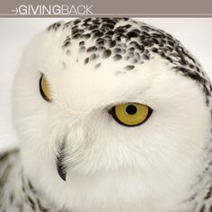 Protect the Snowy Owl | 2013 Gift Guide: Winter Wonderland | Giving Back | Organic Spa Magazine