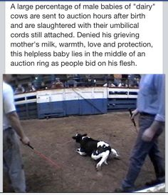 SO CRUEL. The only solution is to stop consuming dairy products.  Please show compassion and go vegan.