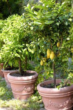 Grow Your Own Fruit Trees (Complete Guide) Fruit Garden, Edible Garden, Garden Planters, Vegetable Garden, Farm Gardens, Outdoor Gardens, Container Gardening, Gardening Tips, Potted Fruit Trees