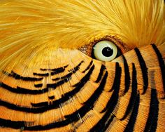 Flirtatious red golden pheasant at wildlife park. Beautiful Eyes, Beautiful Birds, Animals Beautiful, Regard Animal, Golden Pheasant, Eye Close Up, Fotografia Macro, Guache, Mundo Animal