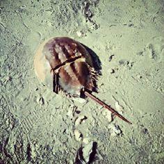 Horsehoe Crabby