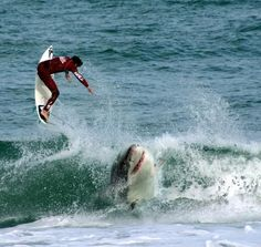 Shark bait this is why I never tried surfing lessons in Hawaii Shark Bait, Shark Images, Wow Photo, The Great White, Delphine, Ocean Creatures, Orcas, Mundo Animal, Shark Week