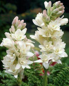 Roberta's Tuberose produce pure white flowers, with one of the most richly scented fragrances of any flower in the world. They make great cut flowers and bouquets. Exotic Flowers, Tropical Flowers, Amazing Flowers, Pretty Flowers, Spring Flowers, White Flowers, Love Rose Flower, Beautiful Flowers Photos, Beautiful Flowers Garden