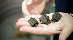 Newsela | When turtle eggs get warm or cool, they decide to become girls or boys