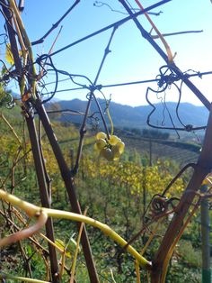 A grape of Verduzzo Friulano in Ramandolo - Nimis #friuliveneziagiulia