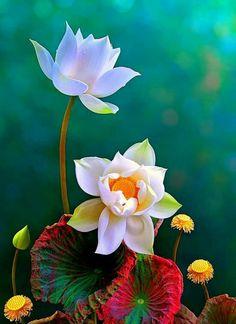 Red flower pinterest lotus lotus flower and reflection nature flora lotus mightylinksfo