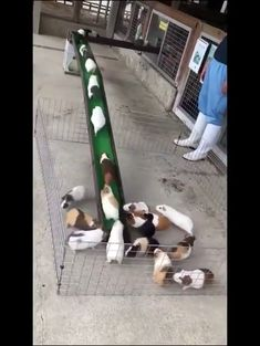 Guinea-Highway The post Guinea-Highway appeared first on Animal Bigram Ideen. Cute Funny Animals, Funny Animal Memes, Cute Baby Animals, Animals And Pets, Cute Animal Videos, Cute Animal Pictures, Cute Puppies, Cute Dogs, Cute Guinea Pigs