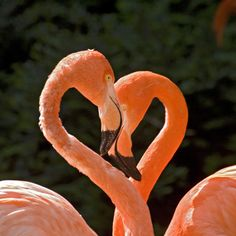 Two flamingos form a red heart
