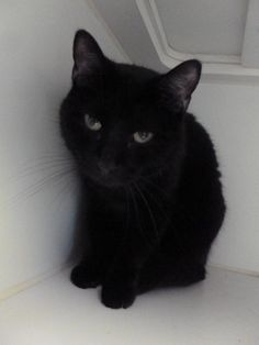 Meet Al, a Petfinder adoptable Domestic Short Hair Cat | Saint Joseph, MO | Al is a 3 year-old male black domestic short hair cat who weighs about 12 lbs. He and his...