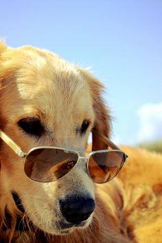 stylin' #golden #goldenretriever #dog
