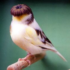 gloster canary ... permanent bowl cut lolol