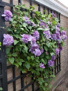 Wall Climbing Plants, Climbing Flowers, Climbing Vines, Trellis Design, Trellis Ideas, Jardin Decor, Clematis Vine, Walled Garden, Flowering Vines