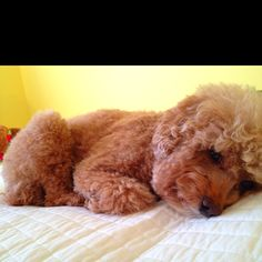 Cutest dog ever!! Love toy poodles