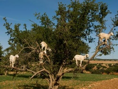Goats in Argan trees in Morocco. They assist in the production of Argan oil.