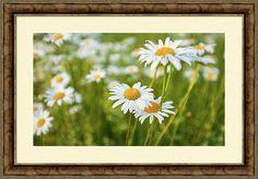 Anna Matveeva.daisies At Sunset.photographers Framed Print featuring the photograph Daisies At Sunset by Anna Matveeva               #AnnaMatveeva #daisies #Sunset #FineArtPhotography #ArtForHome #FineArtPrints