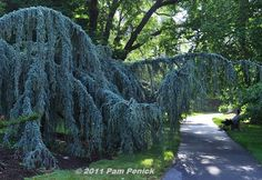 Weeping Blue Atlas Cedar at the Biltmore Estate.  Yes, I too have one of these trees.  No.  It does not look like this.  Mostly, it looks like a tree wearing a skirt.  I assume you must have the Biltmore Estate money to cultivate this tree.  ~sigh~