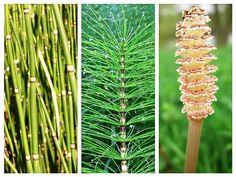 Coada-Calului - Planta Tinereții Fără Bătrânețe | LaTAIFAS Natural Health Remedies, Cactus Plants, Dandelion, Health Fitness, Healthy, Flowers, Medicine, Cacti, Dandelions