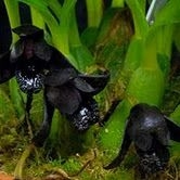 Genetic Jungle: Dark desires: the black orchids -- Maxillaria schunkeana, discovered as recently in 1993 in the coastal rainforest of Brazil Black Orchid, Black Flowers, Miniature Orchids, Orchid Show, Purple Orchids, Orchid Flowers, Black Garden, Orchidaceae, Flower Quotes
