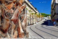Palmiers du Boulevard Ledru Rollin. Montpellier (France / Languedoc-Roussillon-Midi-Pyrénées / Hérault) au sujet du bouclage de la ligne 4 de tramway