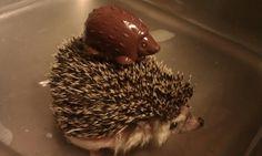 Hedgehog on Hedgehog