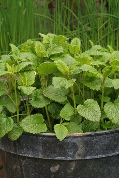 12 herbs you can grow with just water all year round – Lemon Balm