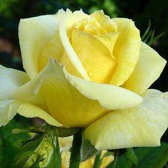 380 Mejores Imágenes De Sólo Rosas Amarillas Yellow Roses Yellow