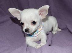 Micro Mini Chihuahua | Mini Chihuahua cachorros en Chiriquí Grande