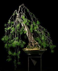 #Bonsai Calistemon Especioso (Calistemon Especioso) Height:39 in, 100 cm  Pot: Handmade  Categories: Broadleaf