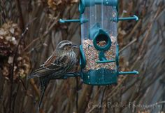 A female Red Winged Blackbird seen at our feeder. She was here a few days ago but today arrived with 3 other friends.