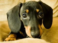 dachshund puppies can get away with anything just by giving that face