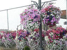 Hanging Baskets flower display