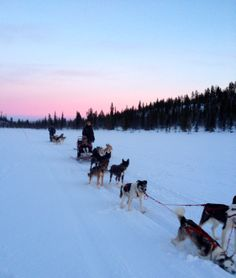 Dog sledding in Swedish Lapland . a dream come true! Scandinavian Design, Places, Dogs, Nature, Naturaleza, Pet Dogs, Doggies, Nature Illustration, Off Grid