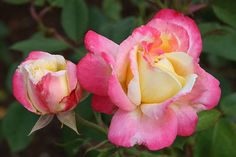 French Perfume™ - Hybrid Tea Roses - Roses - Heirloom Roses