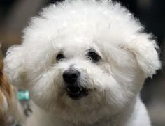 Properly tended to, a bichon frise's coat is white, fluffy and soft—without brushing, though, the fur becomes matted and tangled. While most bichons should undergo regular professional grooming, daily brushing in between appointments helps keep the coat beautiful, the skin healthy and the dog happy.