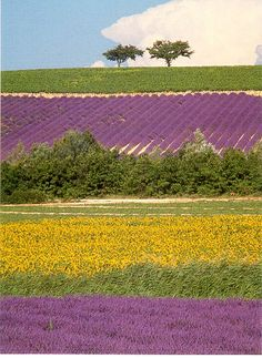 Sunflower and Lavender field, France