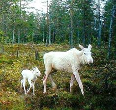 Albino Moose Do You Have Them In Your Area? I have seen Albino Moose, we have three in our area and have been lucky enough to have seen them quite a few times. One of them is totally white the other two have a few black patches on their hind end. Amazing Animals, Unusual Animals, Animals Beautiful, Moose Pictures, Animal Pictures, Moose Pics, Albino Moose, Rare Albino Animals, Deer Family