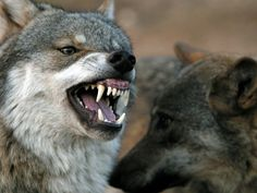 Mad cow disease has left us with really, really angry wolves