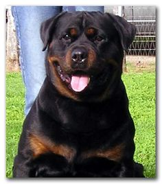This is the papa of my dog, Piper ...Vom Eschenhagen Rottweilers - Rottweiler Stud Dog Tex vom Vilstaler Land