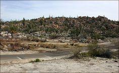 Big Cardon Cacti South of Catavia