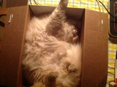 Vladimir in his new fav spot. A beer box. Upside down.