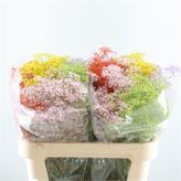 Buy fresh cut Mixed Gypsophila dyed Rainbow mix (Baby's Breath) at wholesale prices for direct UK delivery - wholesaled in Batches of 25 stems. Gypsophila dyed Rainbow mix is ideal for flower arrangements, hand-tied bouquets & wedding flowers. Cut Flowers, Fresh Flowers, Hand Tied Bouquet, Gypsophila, Local Florist, Flower Bouquet Wedding, Flower Arrangements, Rainbow, Mary
