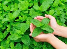 Mint The aromatic leaves, stems, and flowers of a mint plant repel mosquitoes. But keep this one confined to a pot—it spreads aggressively and could overtake your small garden. Instead, place planters brimming with mint around the patio to create a pest-free zone for your enjoyment. If you'd like, you can even make a natural insect repellent by mixing mint oil with apple cider vinegar and witch hazel. A light misting when you're outdoors will shoo irritating insects away.