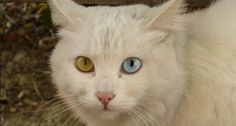 Beautiful Animals with Two Different-Colored Eyes [20 Pictures]